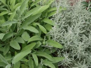 Salbei und Heiligenkraut sind eine tolle Kombination im Heilpflanzengarten.