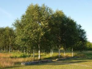 Birke (Betula)