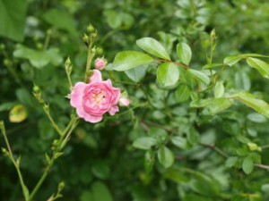 Damaszener-Rose (Rosa damascena)