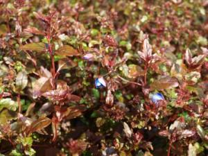 Im April zeigt der Ehrenpreis seine schönen blauen Blüten.