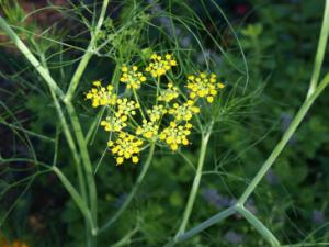 Fenchel während der Blüte