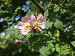 Hagebutte (Rosa canina)
