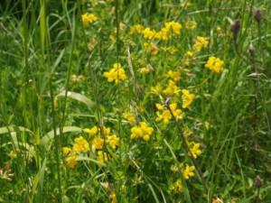 Hornklee, gewöhnlicher (Lotus corniculatus)
