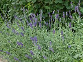 Lavendel (Lavendula officinalis)