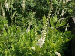 Traubensilberkerze (Cimicifuga racemosa)