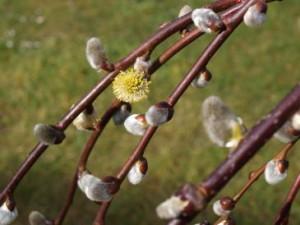 Ende März blühen die Weidenkätzchen der Hänge-Weide.