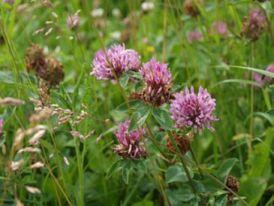 Wiesenklee (Trifolium pratense)