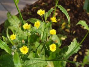 Balsamkraut (Tanacetum balsamita)