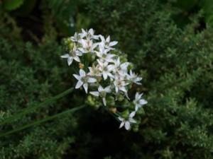 Blüte des Schnittknoblauch (Allium tuberosum)