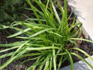 Blätter des Schnittknoblauch (Allium tuberosum)